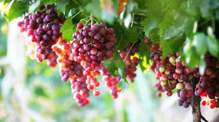 Le raisin entretient la santé cardiaque de l'homme - La..