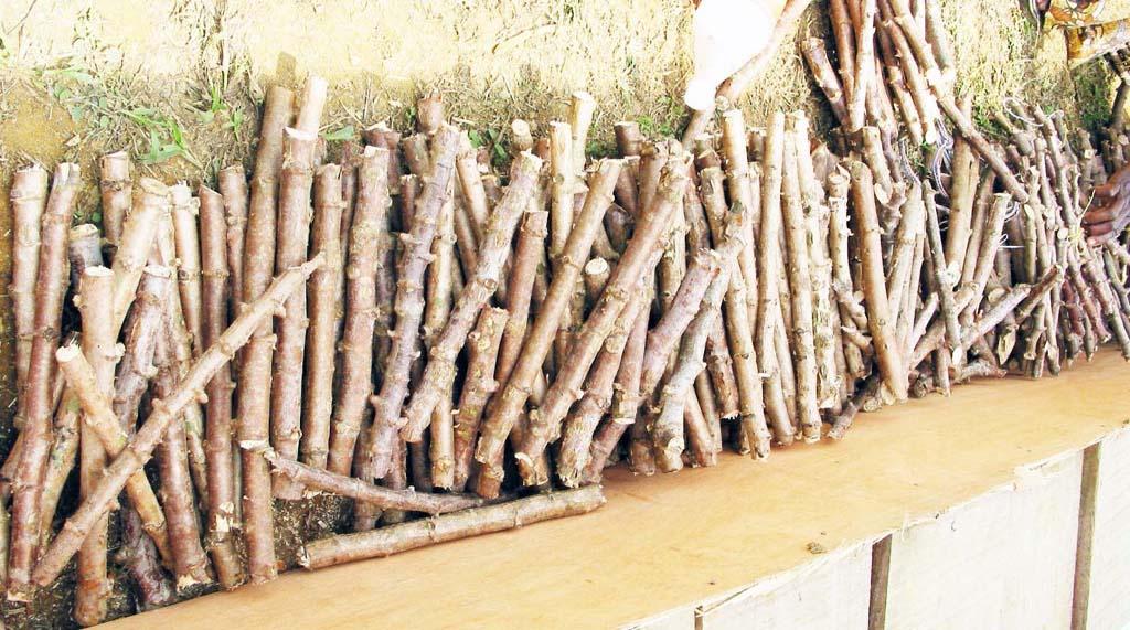 Semences de manioc : la production des boutures - La Voix Du Paysan