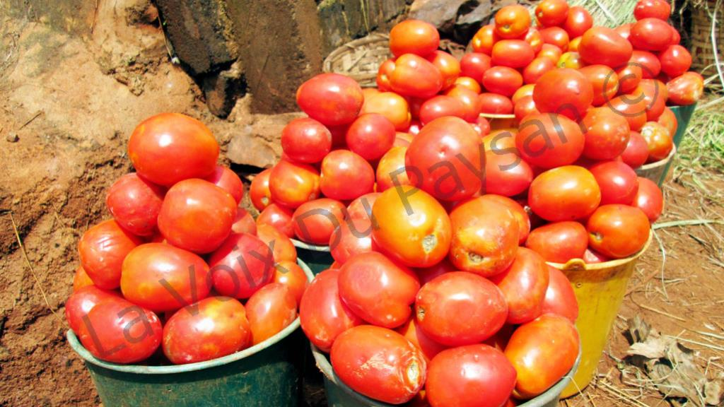 cameroun la culture de la tomate est d licate en saison des pluies la voix du paysan. Black Bedroom Furniture Sets. Home Design Ideas