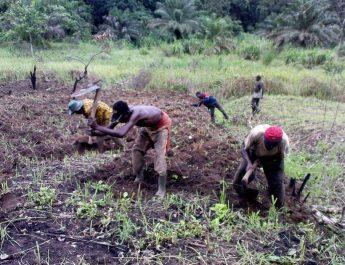 Cameroun : Technique de production du concombre