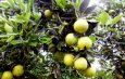 Cameroun : Les périodes de récolte des fruits dans l'année
