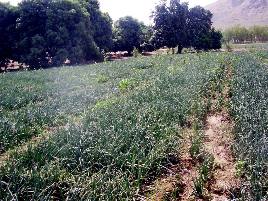 Culture De L Oignon Rouge cameroun : conduite d'un champ d'oignon - la voix du paysan