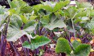 Cameroun : Quand semer le macabo ?