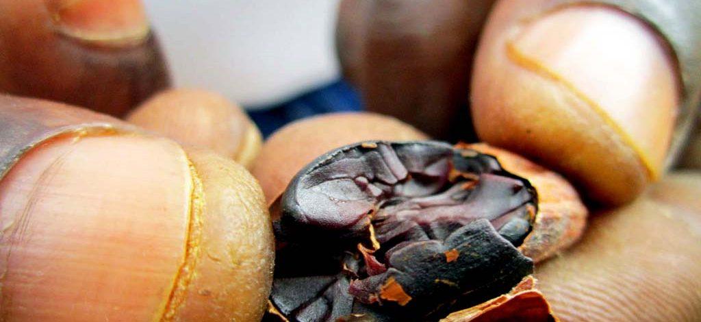Cameroun : La fabrication du beurre de cacao