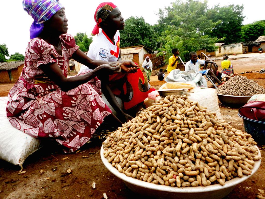 cameroun : technique de production de l'arachide - la voix du paysan