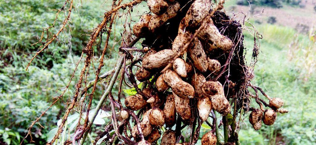 Cameroun : Variétés d'arachides promues à l'IRAD