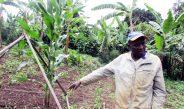 Cameroun : Nourrir le sol pour  qu'il puisse nourrir la plante