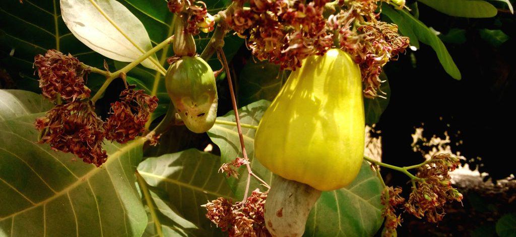 Cameroun : Création d'une plantation d'anacardiers