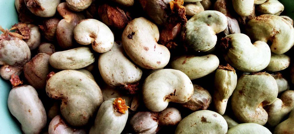 Cameroun : Semis direct des noix de cajou