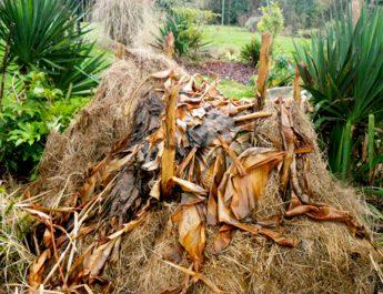 Cameroun : Utiliser les troncs de bananier pour faire du compost