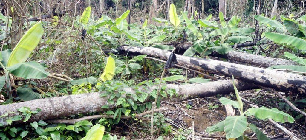 Cameroun : Mes plantains ne grandissent pas bien, que faire ?