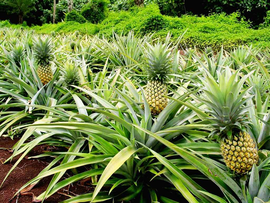 Quel Fruit Planter quel est le cycle de production de l'ananas? - la voix du paysan