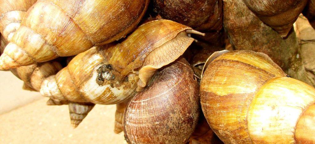 Cameroun : Technique d'élevage des escargots