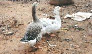Cameroun : Les espèces d'oies et canards