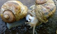 Cameroun : Reproduction des escargots