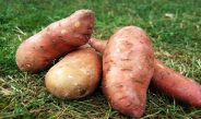 Cameroun : Comment obtenir les boutures de patate douce ?