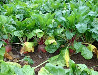 Cameroun : Conduite d'une plantation de betterave