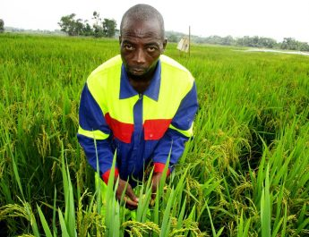 Cameroun : «J'ai produit 47 tonnes de riz l'an dernier à Mbandjock»