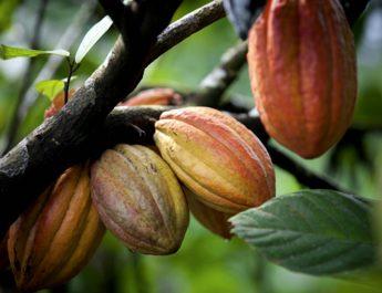 Cameroun : La taille cacaoyère est-elle obligatoire?
