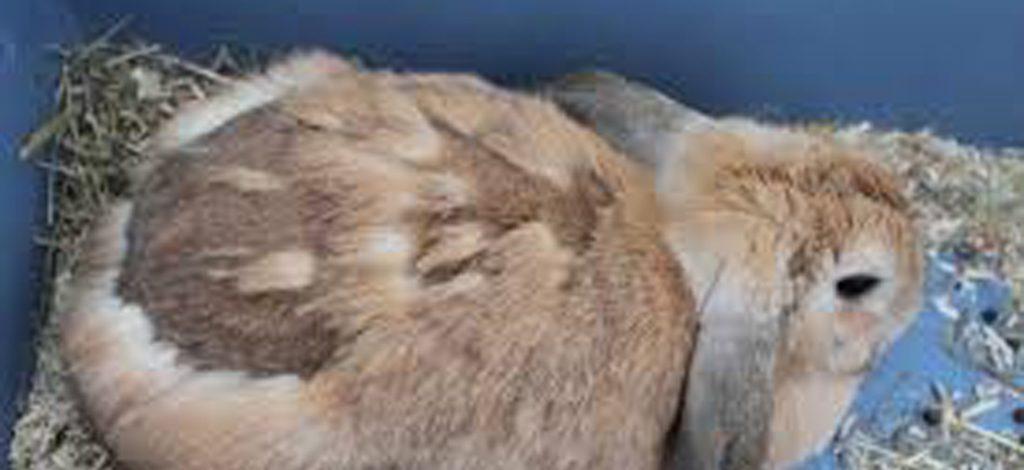 Cameroun : Pourquoi mon lapin perd ses poils ?