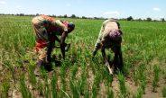 Cameroun : Sans subventions, la culture du riz ne tiendrait pas