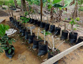 Cameroun : Comment produire les plants de safoutier par le marcottage?