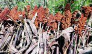 Cameroun : Produire le sorgho de saison sèche