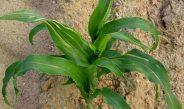 Cameroun : Que faire pour le maïs dont les feuilles fanent et s'enroulent ?