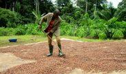 Cameroun : Des coopérateurs parviennent à imposer le prix du kg de cacao aux acheteurs