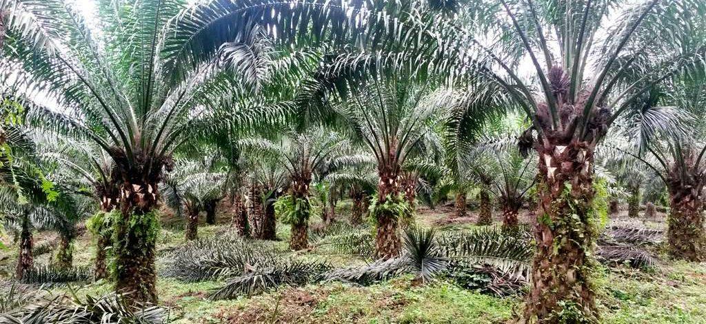 Cameroun : Réussir le piquetage des palmiers sans perdre de l'espace