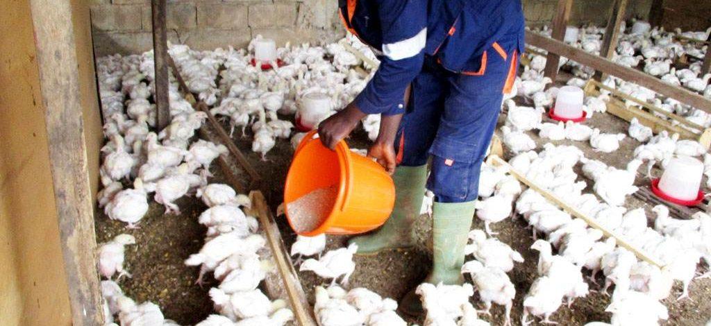 Cameroun : Ce que dit la loi sur la production d'aliments pour animaux
