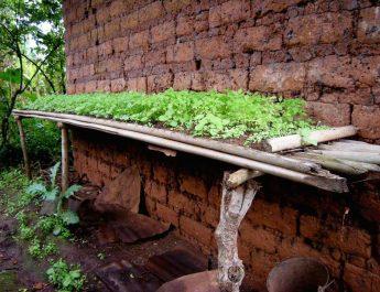 Cameroun : Conduire une pépinière de tomate et de piment en saison pluvieuse