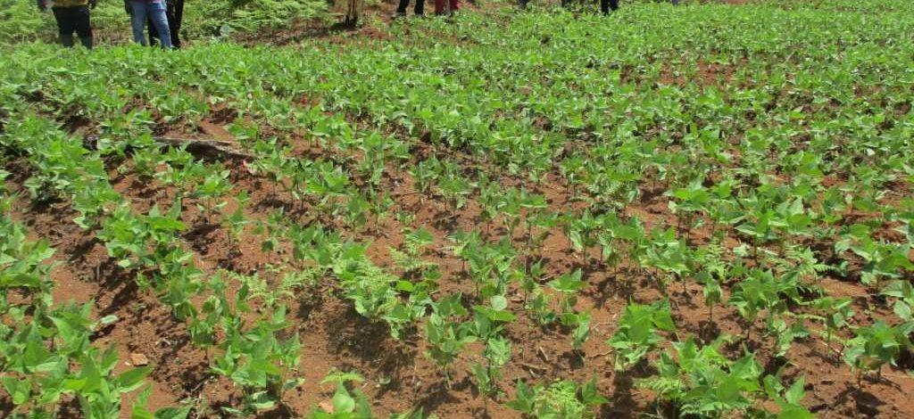 Cameroun : Le haricot et le soja pour fertiliser les champs