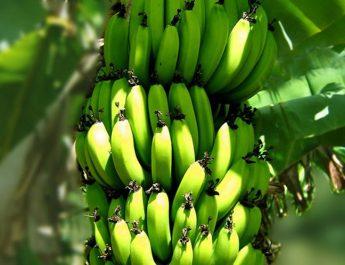 Cameroun : Produire la banane douce bio