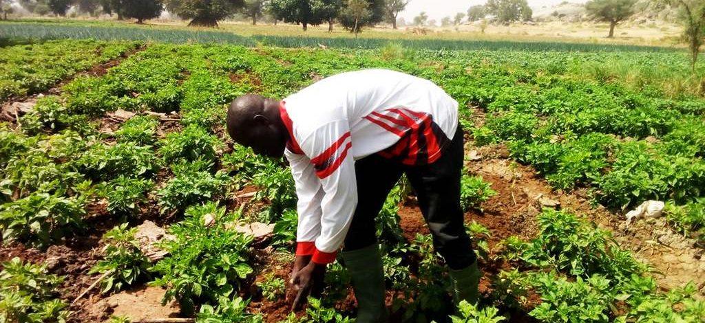 Cameroun : Céréales et légumes bio produits dans le Diamaré
