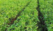 Cameroun : Le basilic, une plante à fort besoin d'eau