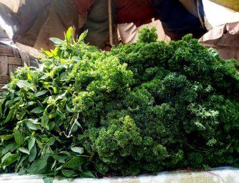 Cameroun : Culture du céleri et persil