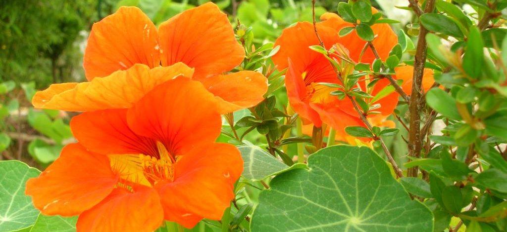 Cameroun : La capucine, une plante redoutable contre la sinusite