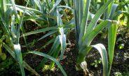 Cameroun : Bien produire le poireau