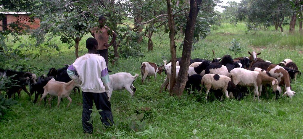 Cameroun : Campagne de vaccination gratuite contre la peste des chèvres et des  moutons dès le 7 août 2019