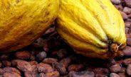 Cameroun : La vente du cacao sera désormais groupée
