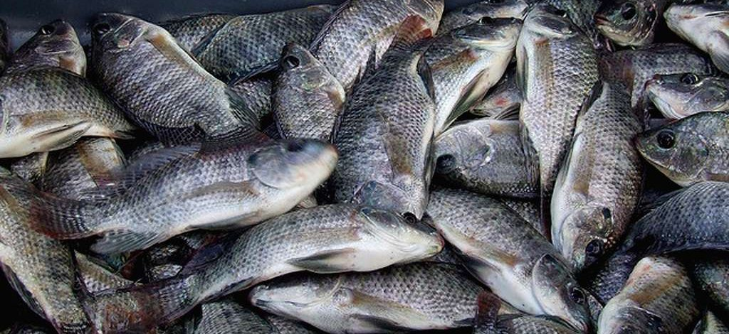 Cameroun : Bientôt du poisson frais made in Maroua