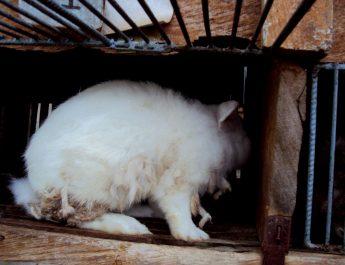 Cameroun : Comment prévenir les maladies du lapin