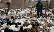 Cameroun : La vaccination des petits ruminants contre la peste se poursuit dans l'Extrême-Nord