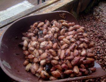 Cameroun : Le cacao de qualité exige une bonne fermentation