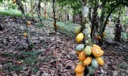 Cameroun : Le kilogramme de cacao stabilisé à 1200 Fcfa