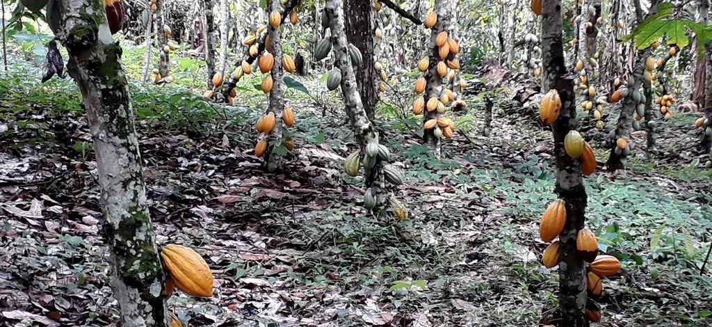 Cameroun : Comment lutter contre le retard de croissance du cacaoyer