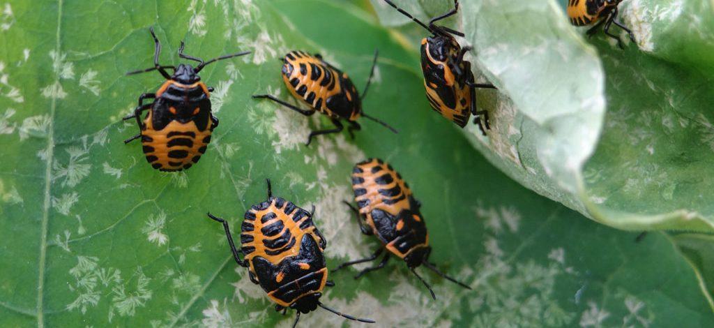 Cameroun: Comment appliquer l'insecticide de neem sur les plantes