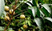 Cameroun : Comment fabriquer un insecticide naturel  à base de neem