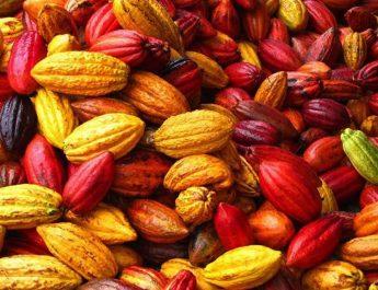 Cameroun : Fabriquez votre engrais naturel à base de coques de cacao